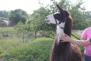 Rita, the llama.