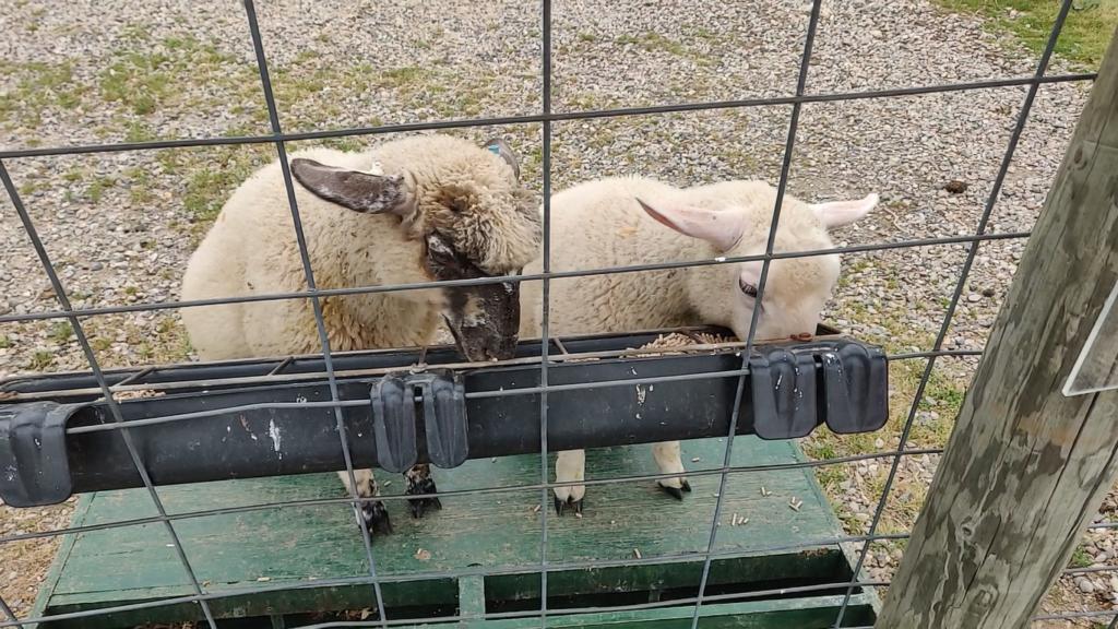 Sheep eat